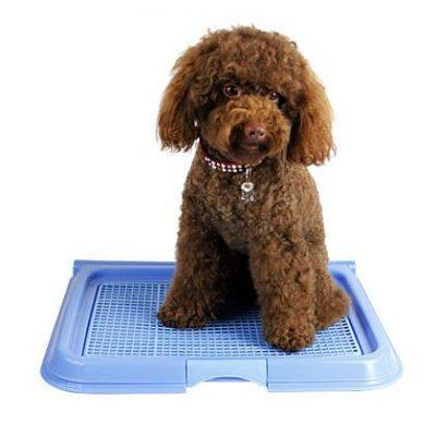 dạy chó poodle đi vệ sinh đúng chỗ