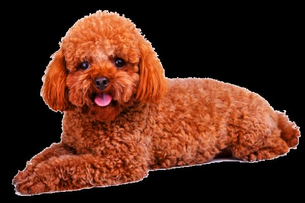 chăm sóc chó poodle tốt nhất