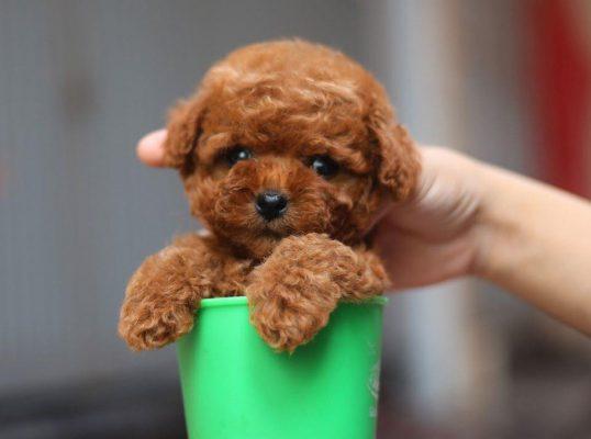 cách chăm sóc chó Poodle đúng cách