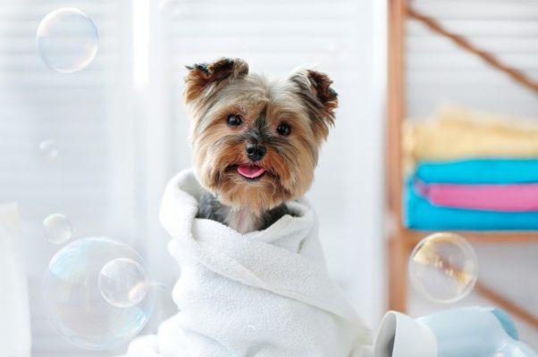 cách cắt tỉa lông chó poodle tại nhà