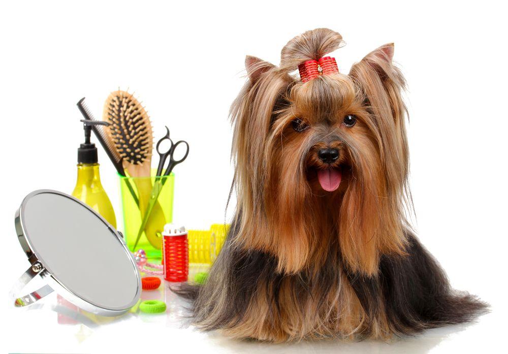cách cắt tỉa lông chó poodle tại nhà 4