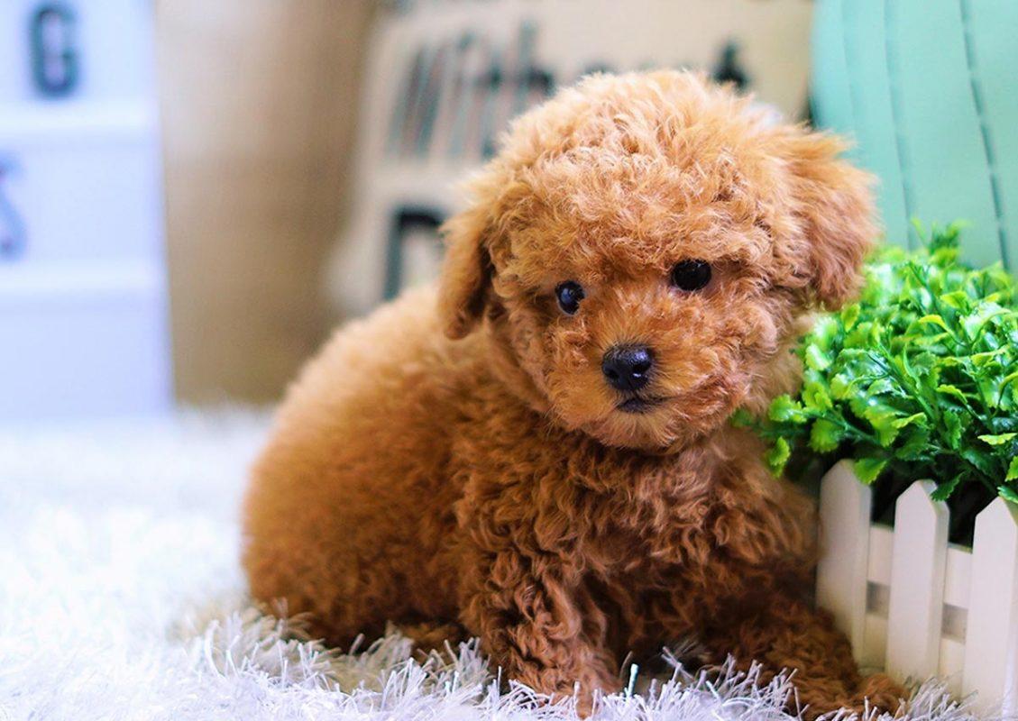 Chăm sóc chó Toy Poodle