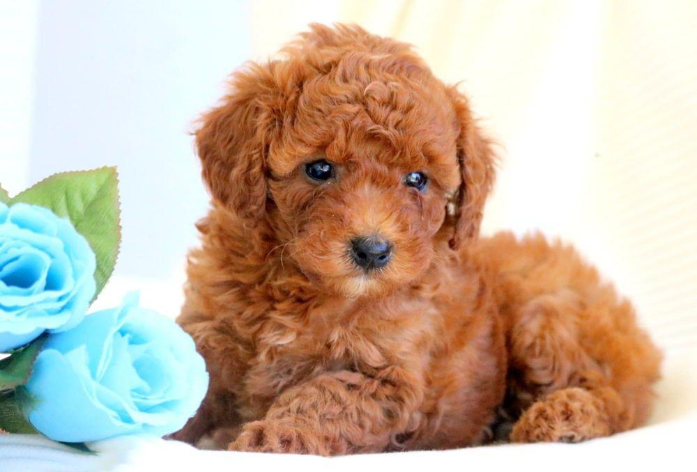 Phương pháp chăm sóc chó Toy Poodle