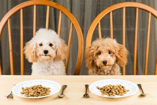 chế độ dinh dưỡng cho chó Poodle