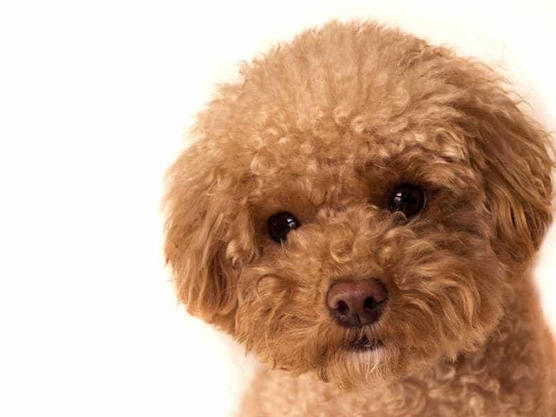 Dinh dưỡng Cho chó Poodle vào mùa h