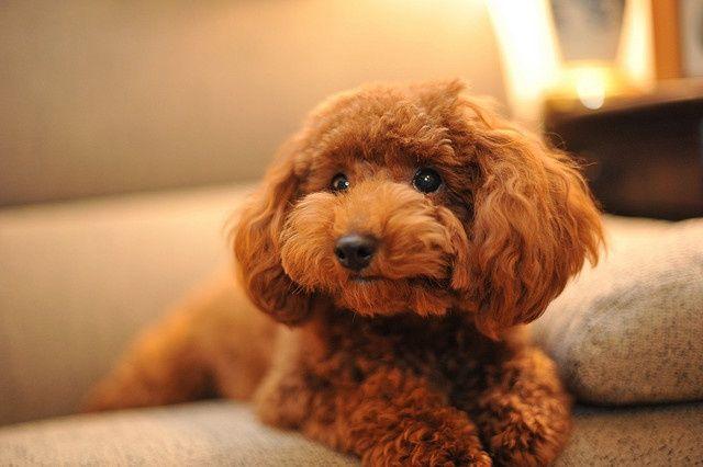 Dinh dưỡng Cho chó Poodle vào mùa hè