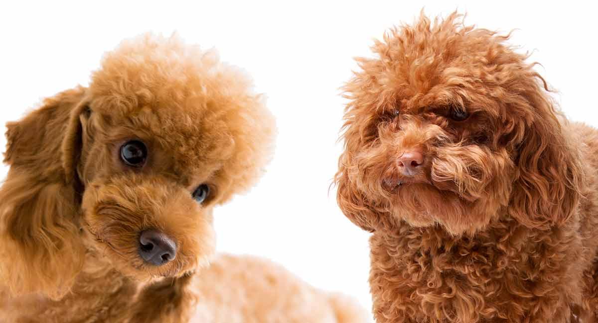 giống chó Poodle thuần chủng hiện