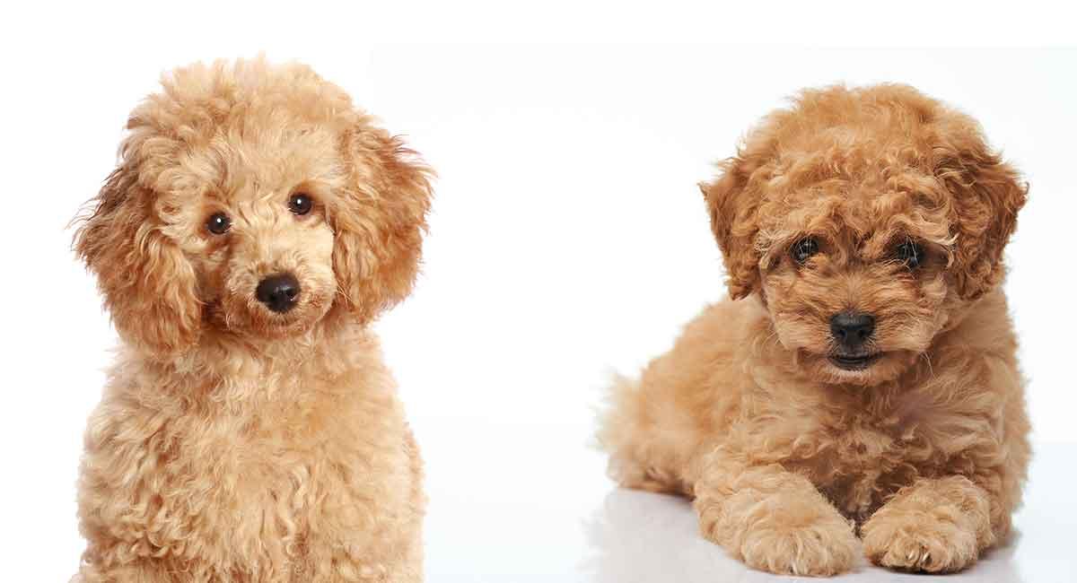 giống chó Poodle thuần chủng hiện nay