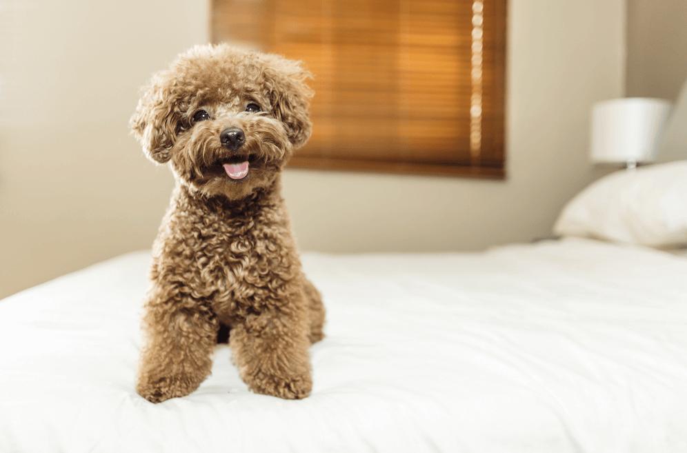 Giống chó Poodle Toy