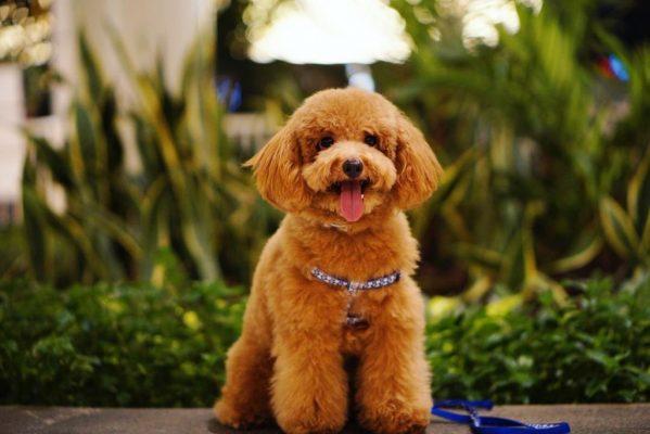 những vấn đề thường gặp ở chó poodle