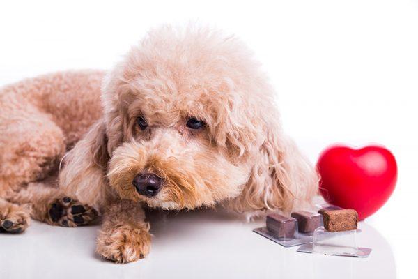 những vấn đề thường gặp ở chó poodle3