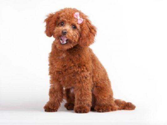 Vì sao nên Chọn nuôi Chó Poodle