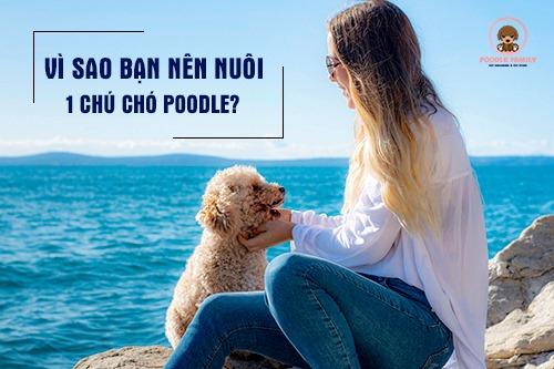 vì sao nên nuôi chó poodle