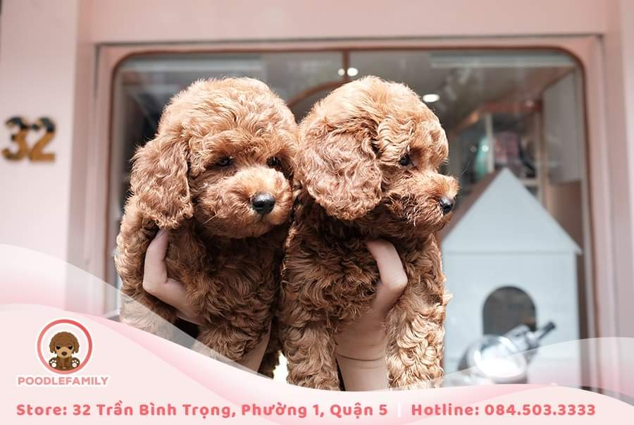 bảng giá chó Poodle thuần chủng