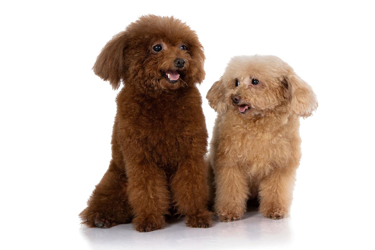 Lưu Ý Khi Chọn Mua Chó Poodle