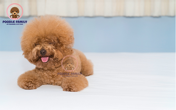 Hướng dẫn nuôi chó Poodle Tiny