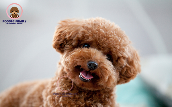 Hướng dẫn nuôi chó Poodle Tiny cho người mới