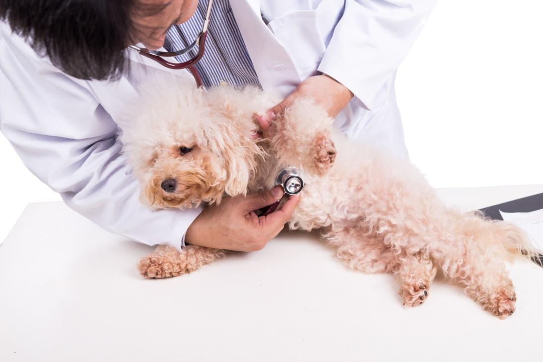 Các loại bệnh thường gặp ở chó Poodle